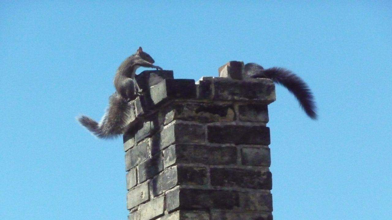 squirrel in chimney